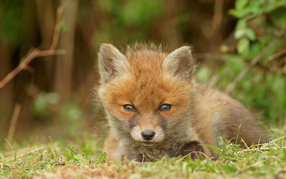 Red Fox puppy