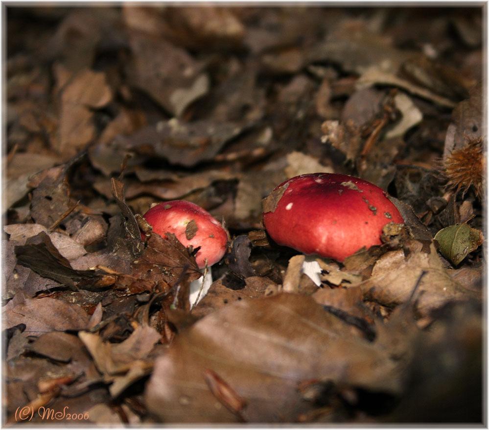 red fungi