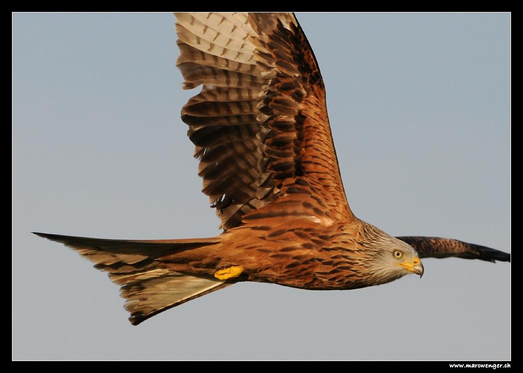 Red Kite over Hasenberg - Switzerland