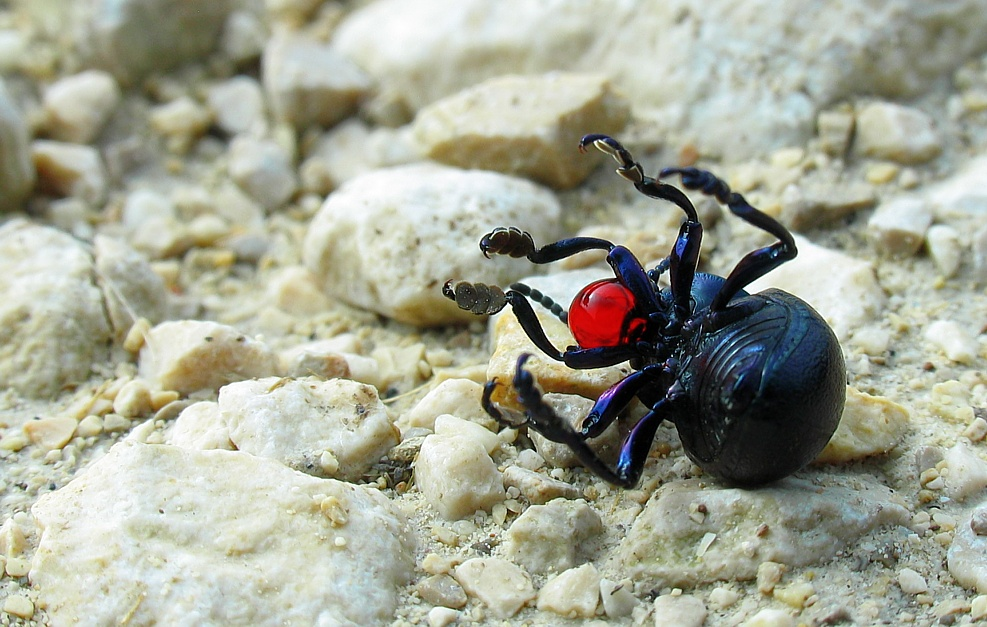 Red Nosed Beetle