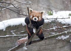 Red Panda (Kleiner Panda)
