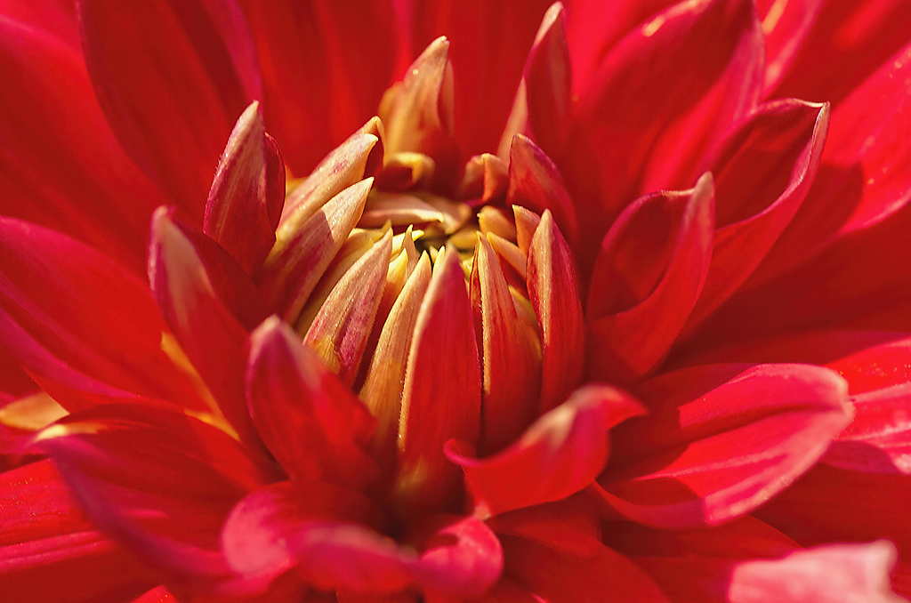 Red passionata