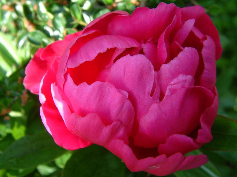 red peony/ rose