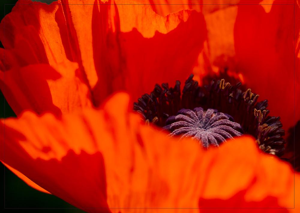*--Red-poppy--*