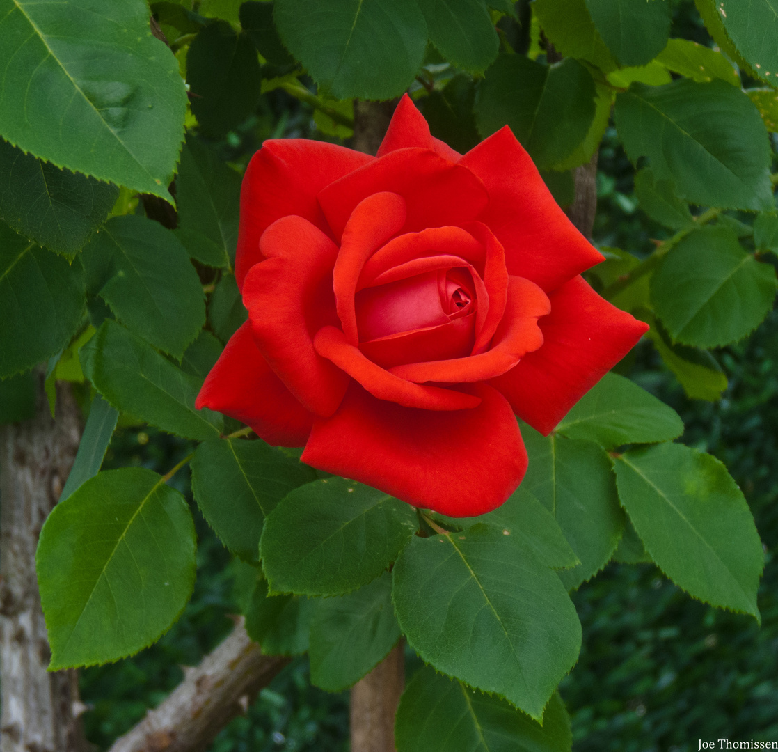 Red Rosa Love Expression