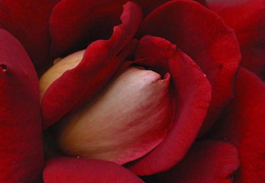 Red Rose... 1. Jahr FC...