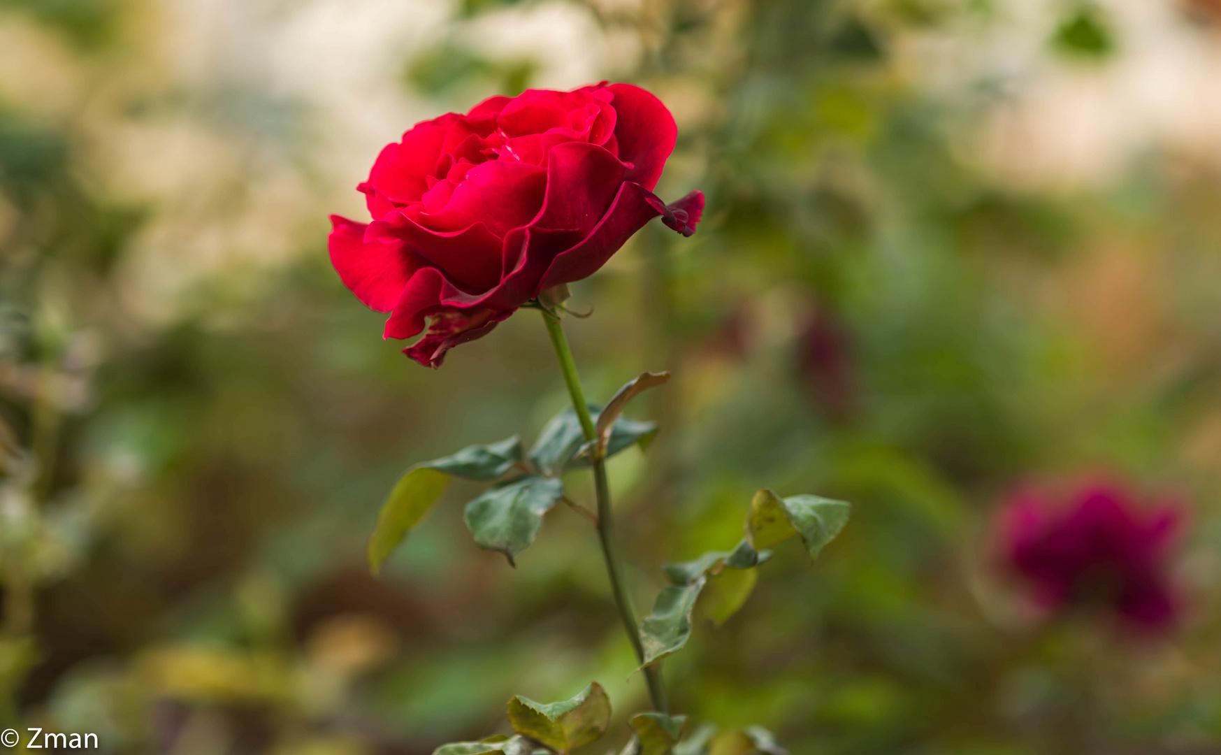 Red Rose B0002468-13