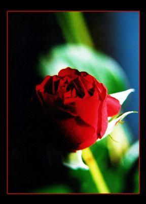 red rose - dark night