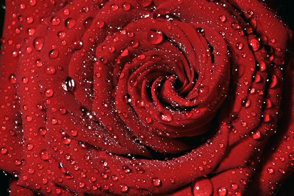 Red Rose Day