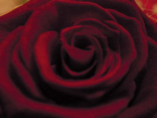 Red Rose *g*