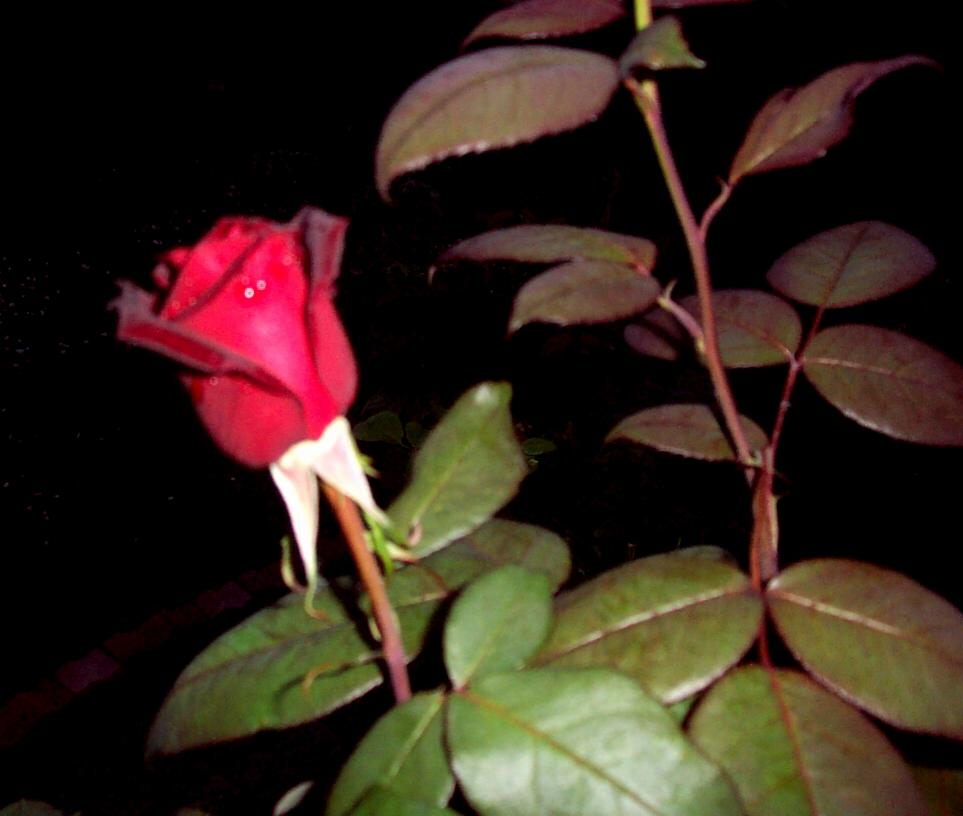 Red Rose in the Night