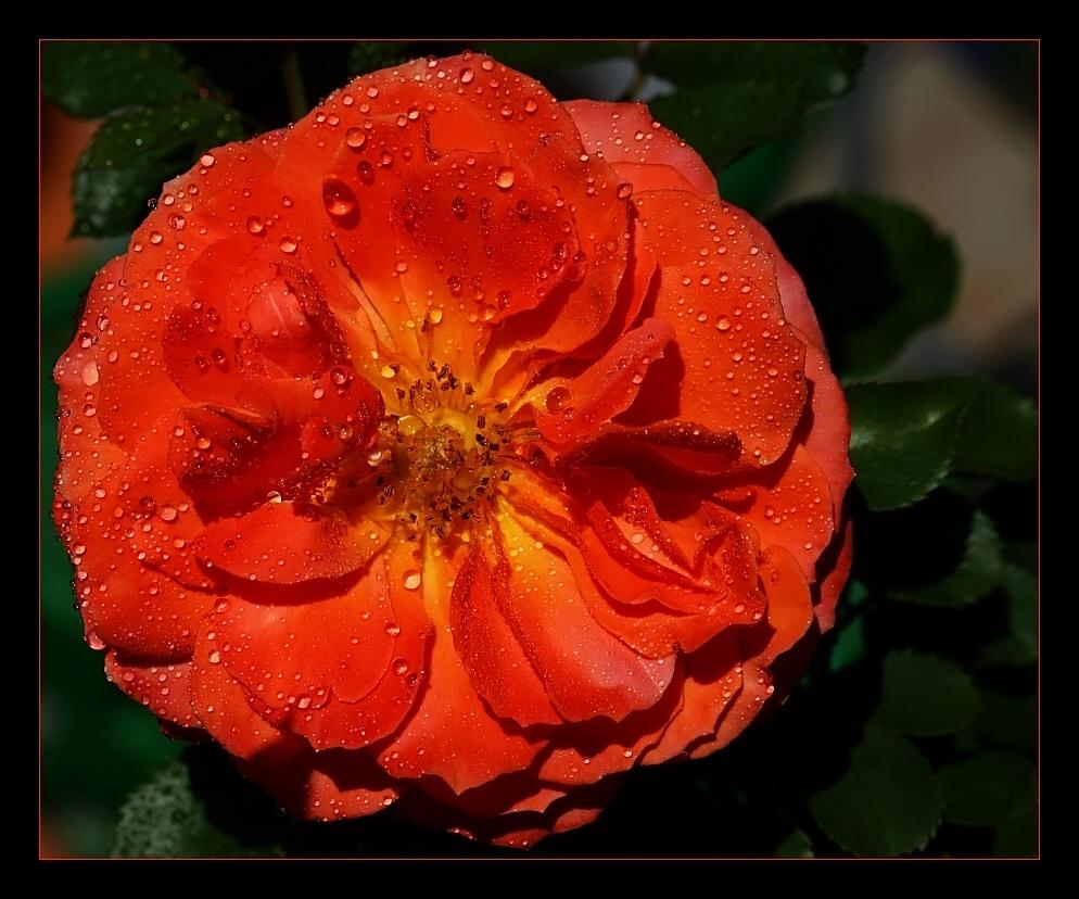 ... red saturday rose ...