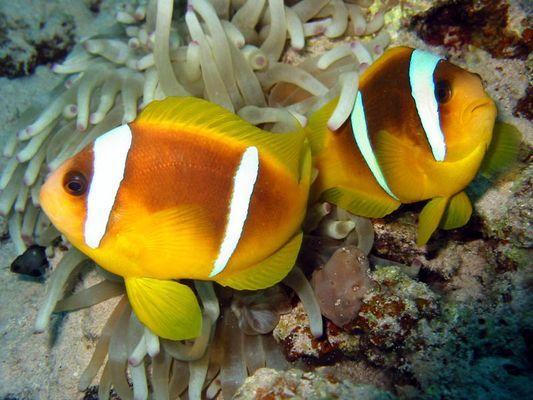 Red Sea, Mangrove Bay, Anemonenfische