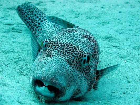 Red Sea, Mangrove Bay, Kugelfisch