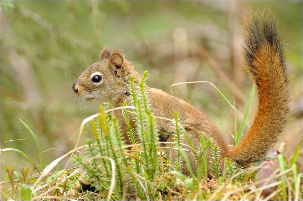 Red Squirrel - Kanada