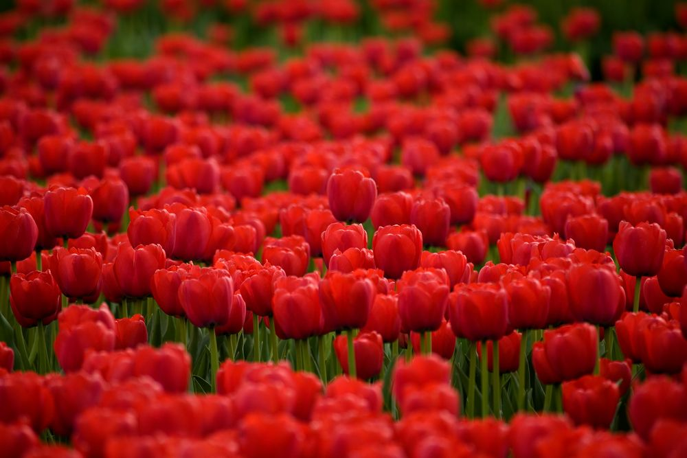 red tulip von Petra Dindas