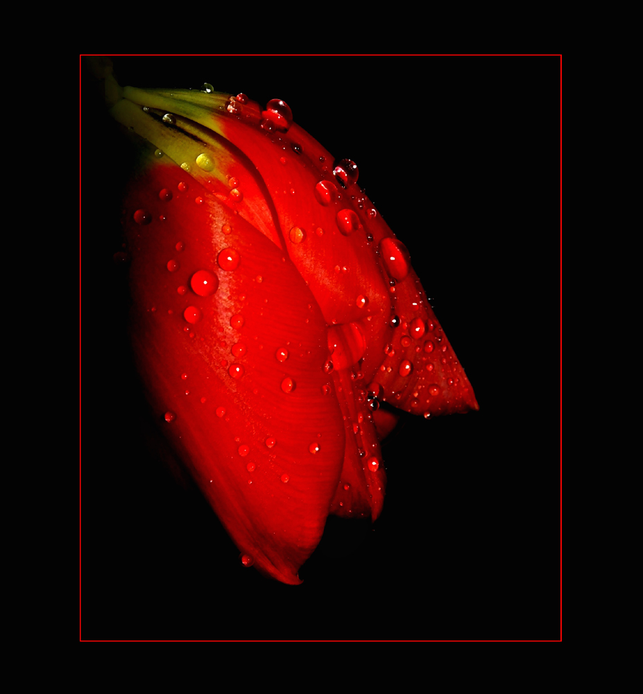red tulip II.