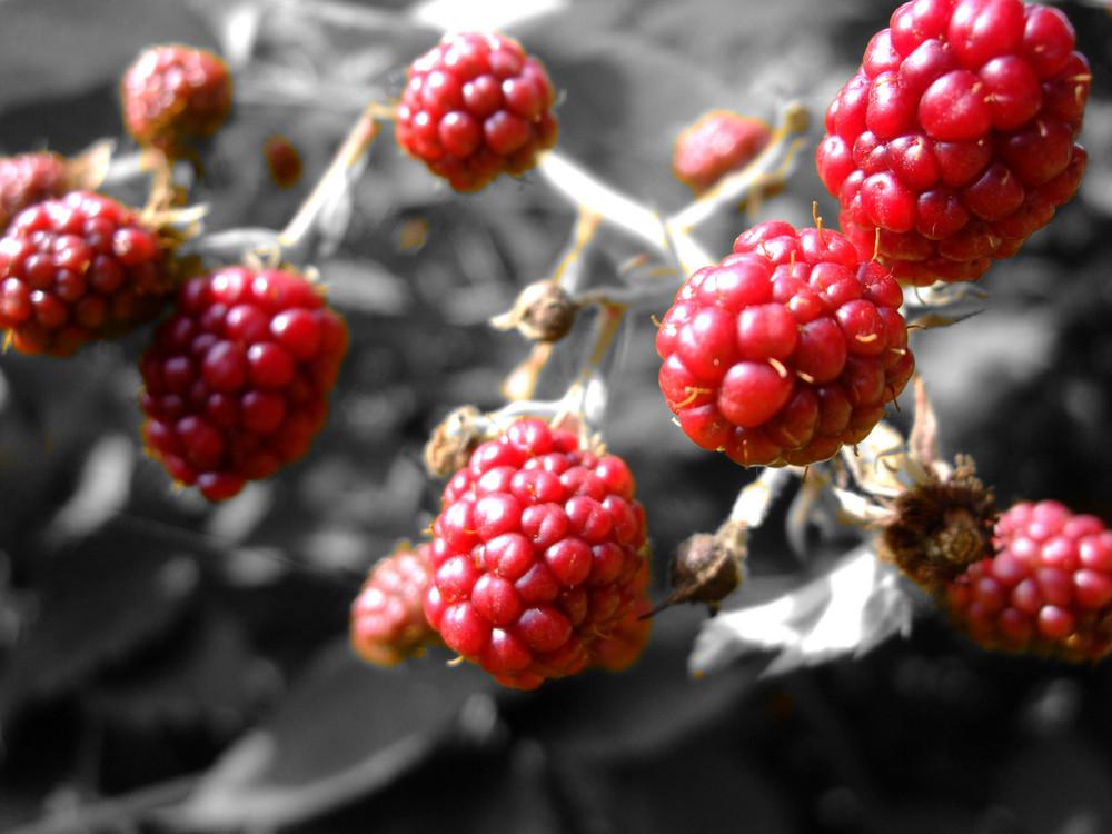 Red Wild Raspberry