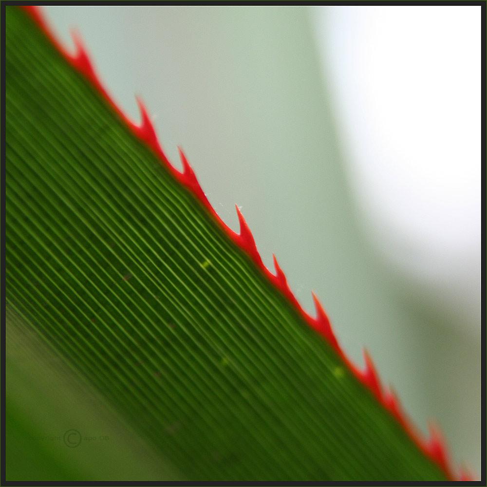 Red-Zack-Diagonal