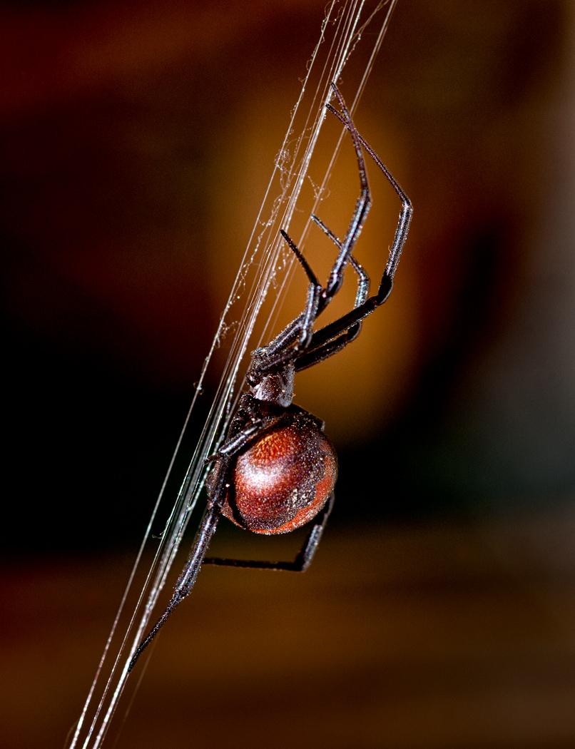 Redback Spider Climbing
