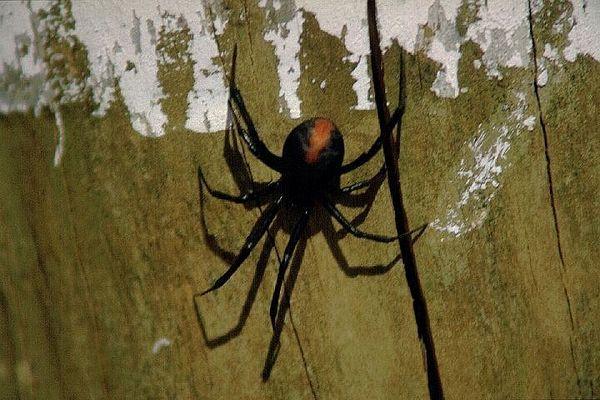 Redback Spider - Tödliche Gefahr