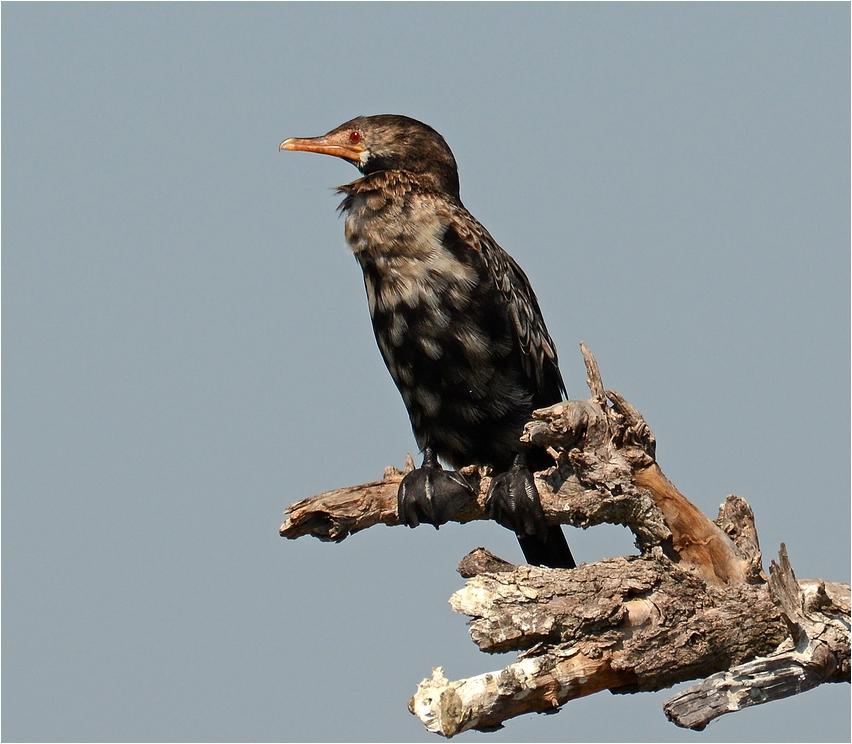 Reed cormorant ...
