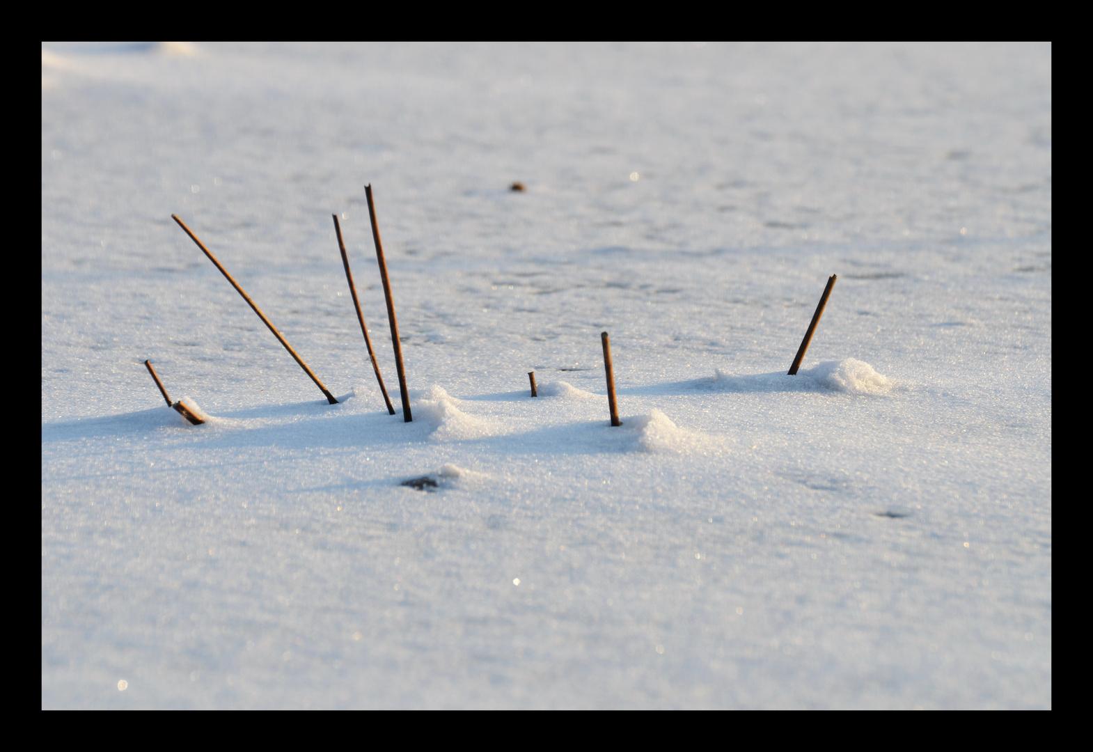 Reethalme im Schnee