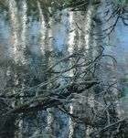 Reflection of birches - corrected thanks to Maurice Clegg