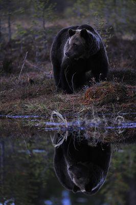Reflektion am Abend - Braunbär