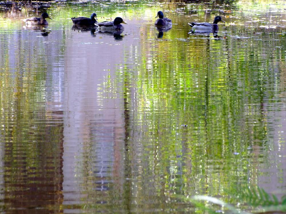 reflet d'eau et de plumes