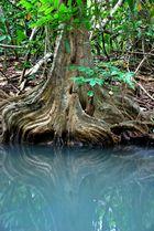 Reflets dans la mangrove