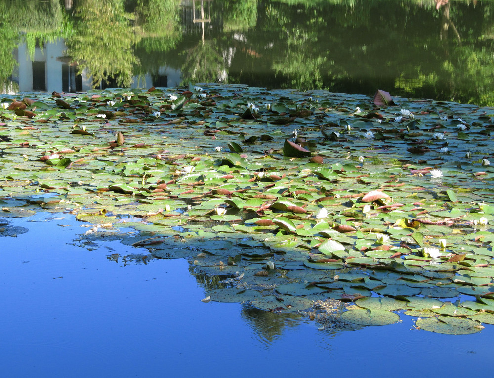 Reflets dans les étangs de Ville d'Avray: jeu des nénuphars entre bleu et vert