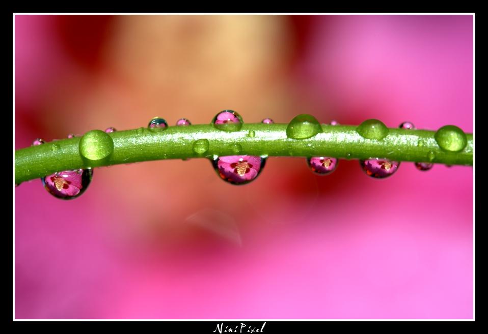 Reflets d'hibiscus dans des gouttes d'eau...