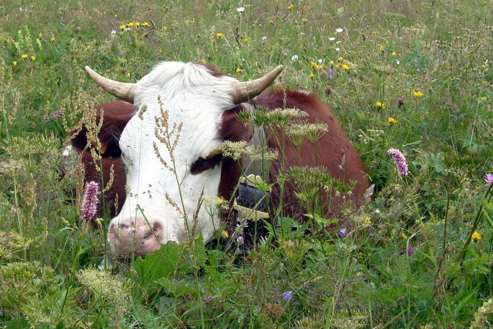 régal d'une vache dans un joli paturage