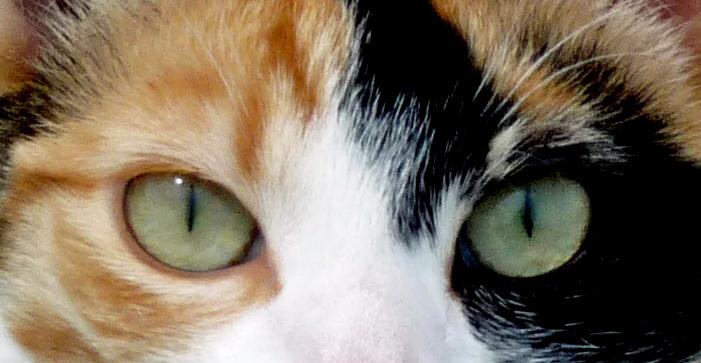 Regard de jeune chat.