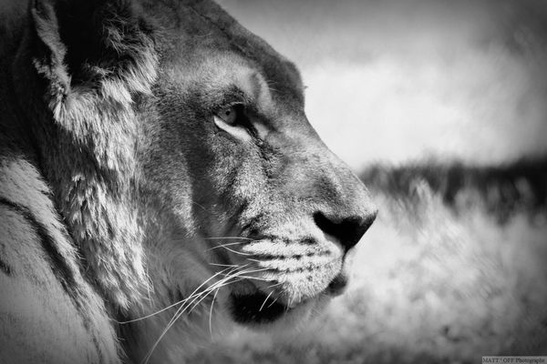 Regard perssant d'une lione