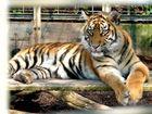 Regard tigré