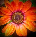Regen fällt in die Blüte