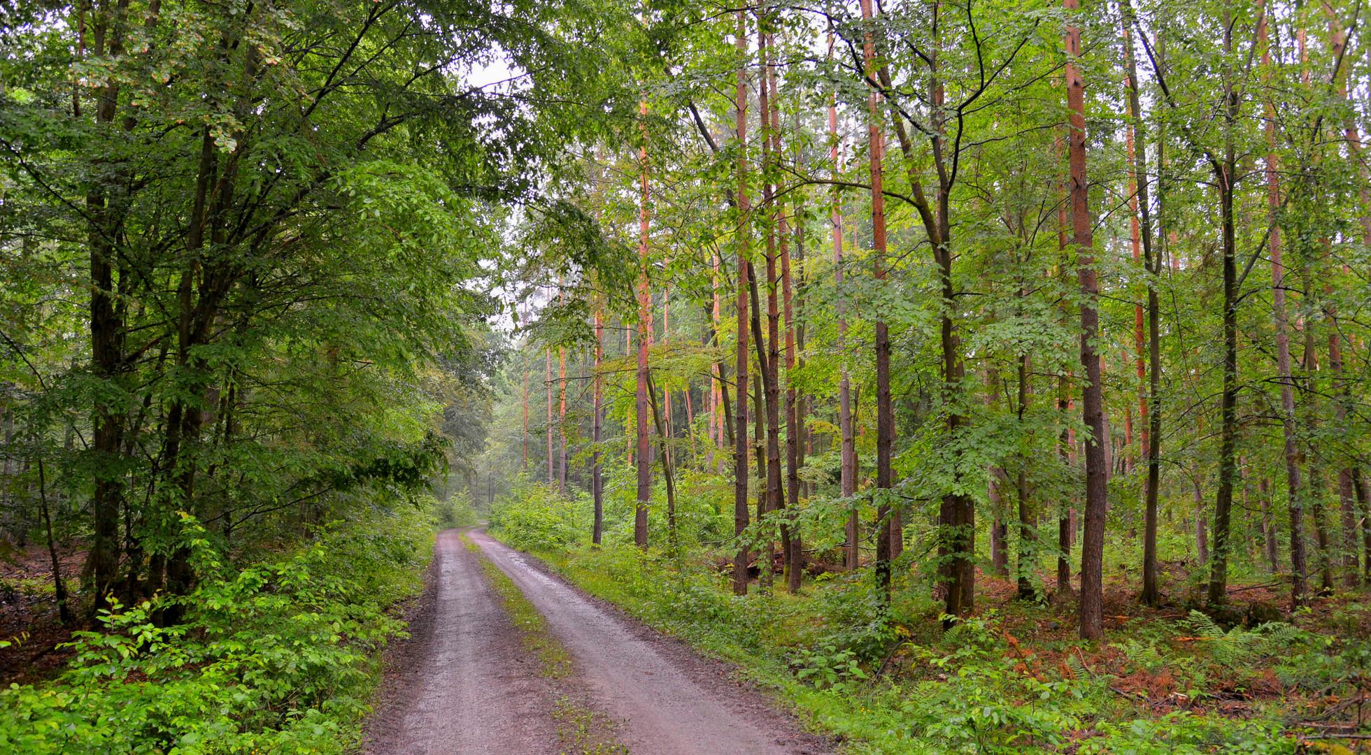 Regen im Wald V (lluvia en el bosque V)