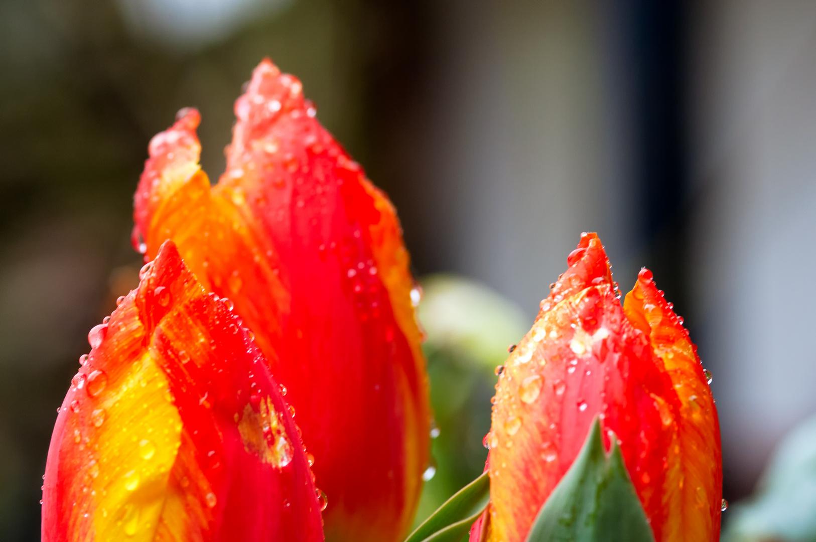 Regen-Tulipane