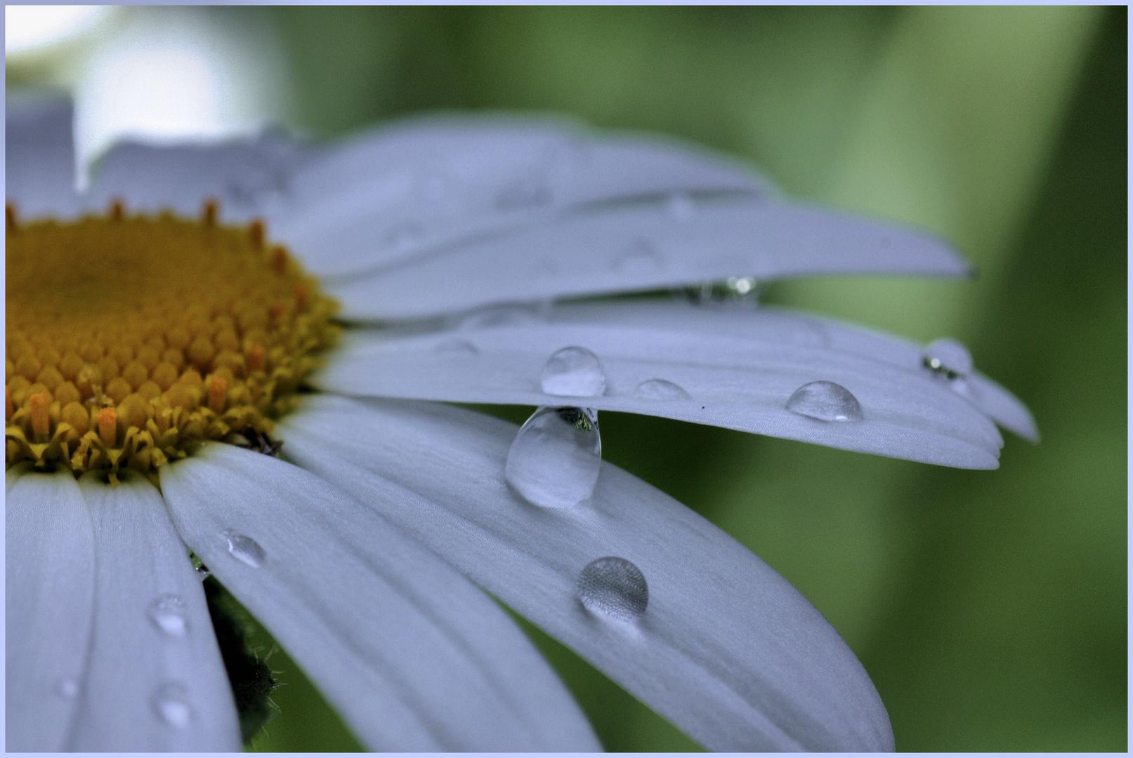 Regen = Wassertropfen auf den Blumen