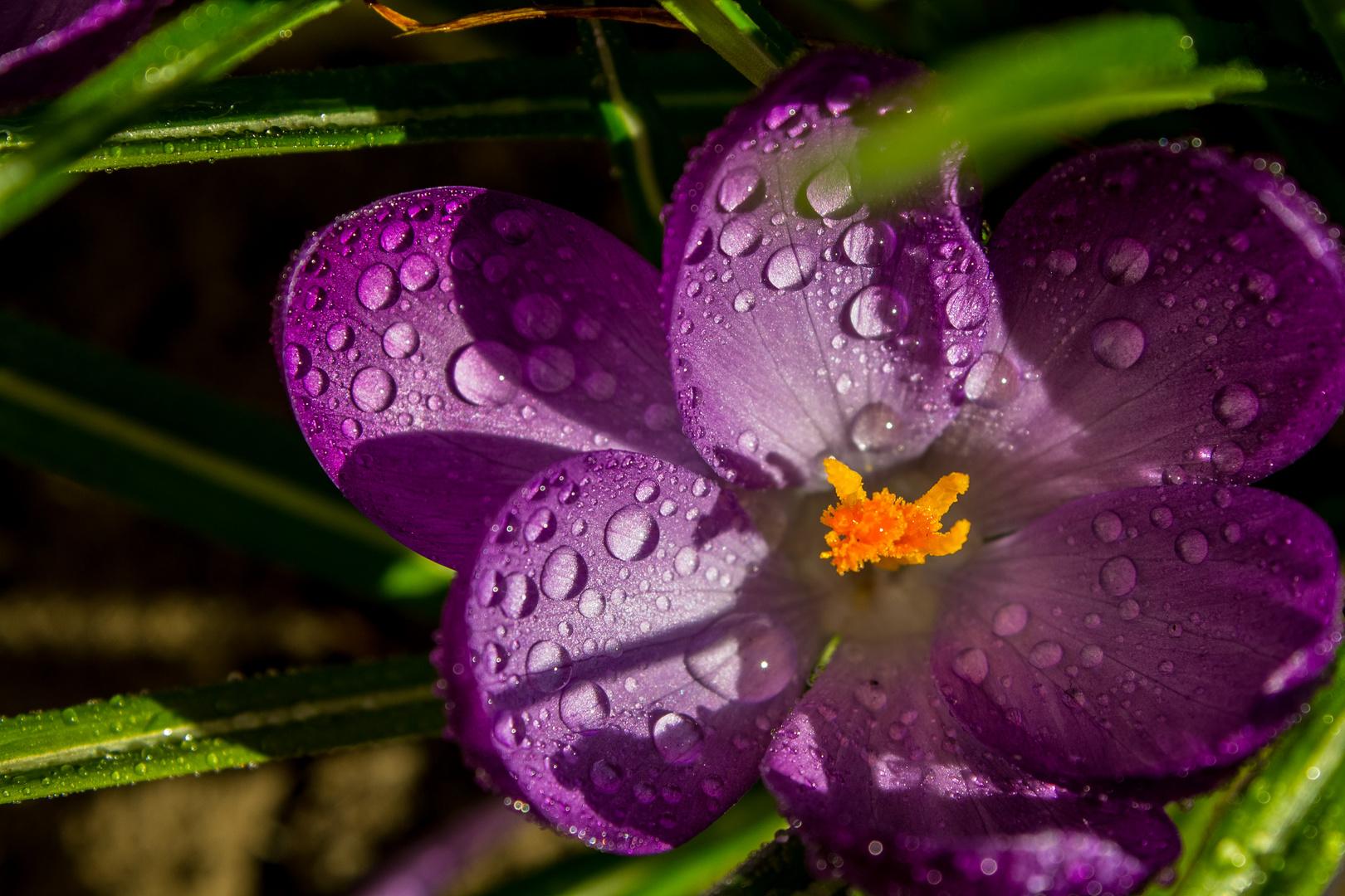 Regenblume