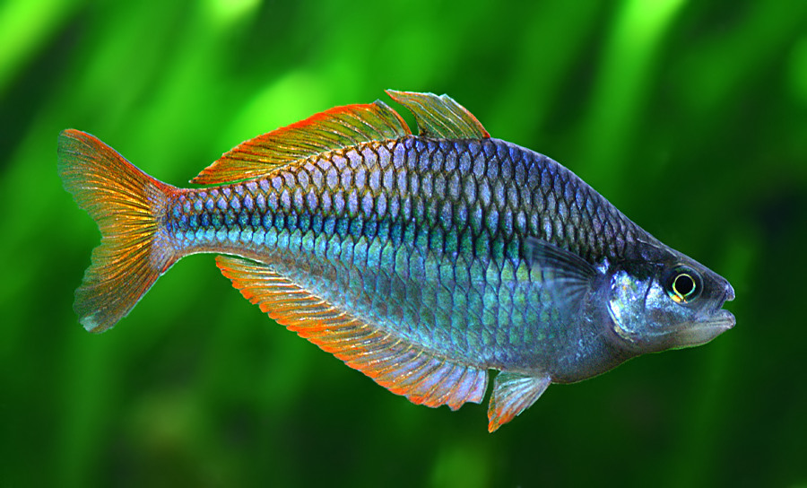 Regenbogenfisch gähnt