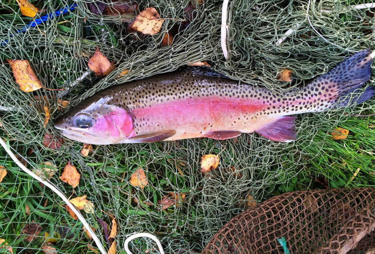 Regenbogenforelle selbst gefischt