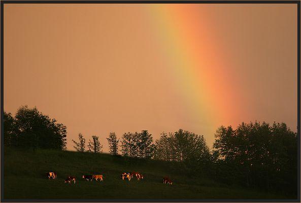 Regenbogenkühe