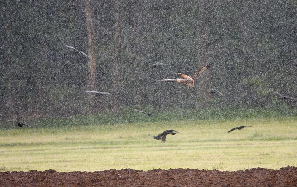 - Regenschauer trifft auf Rotmilan -