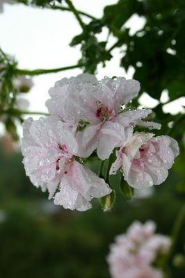 Regentropfenblüte