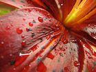 Regentropfenlilie