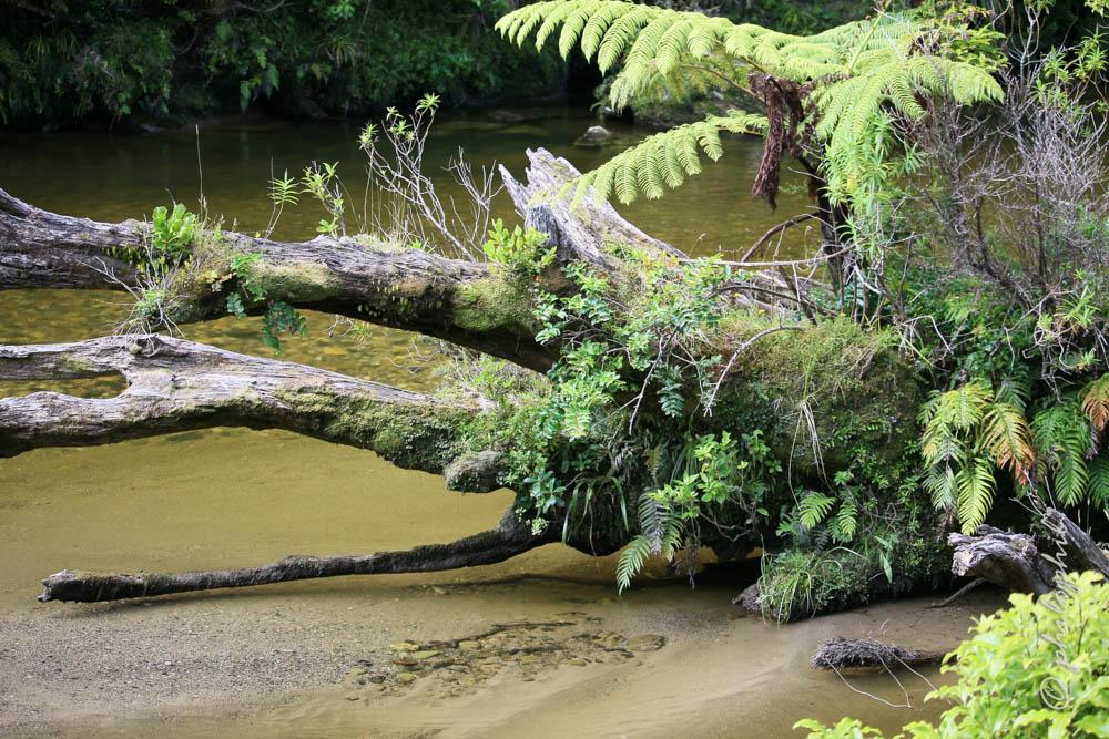 Regenwald an der Westküste, NZ