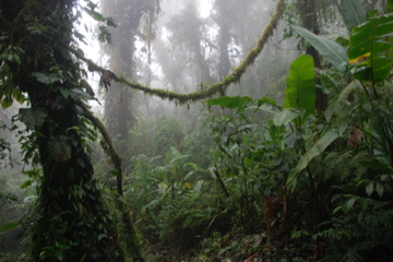 Regenwald/Monteverde/Costa Rica